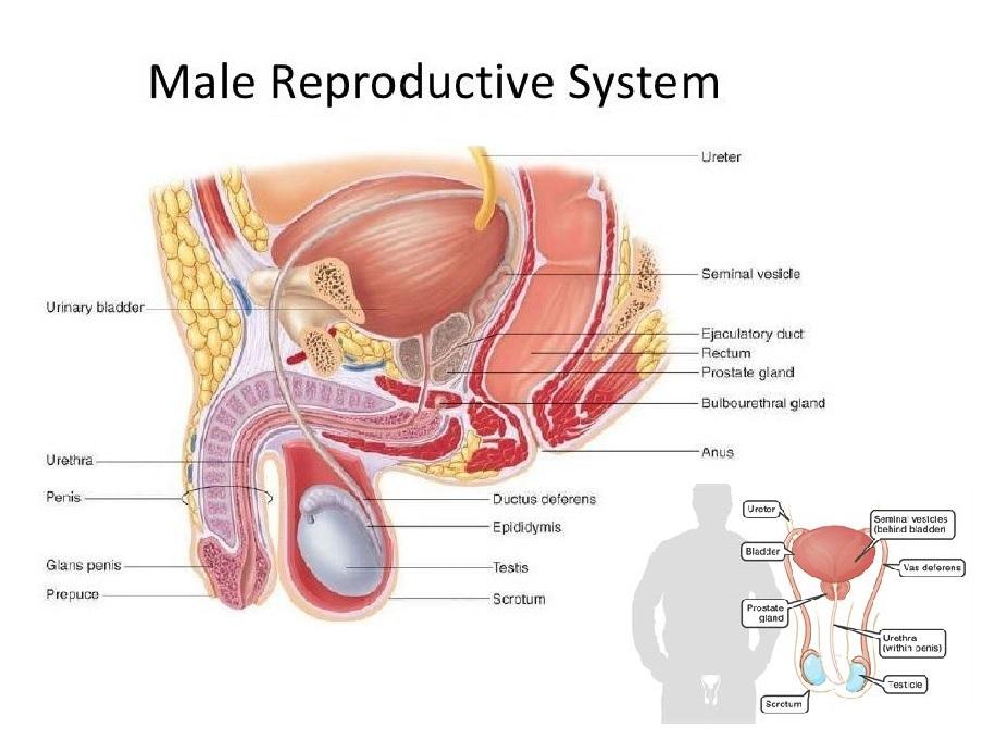 آناتومی و وظایف دستگاه تناسلی مردان (قسمت اول)
